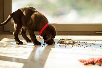 Labrador beim Fressen